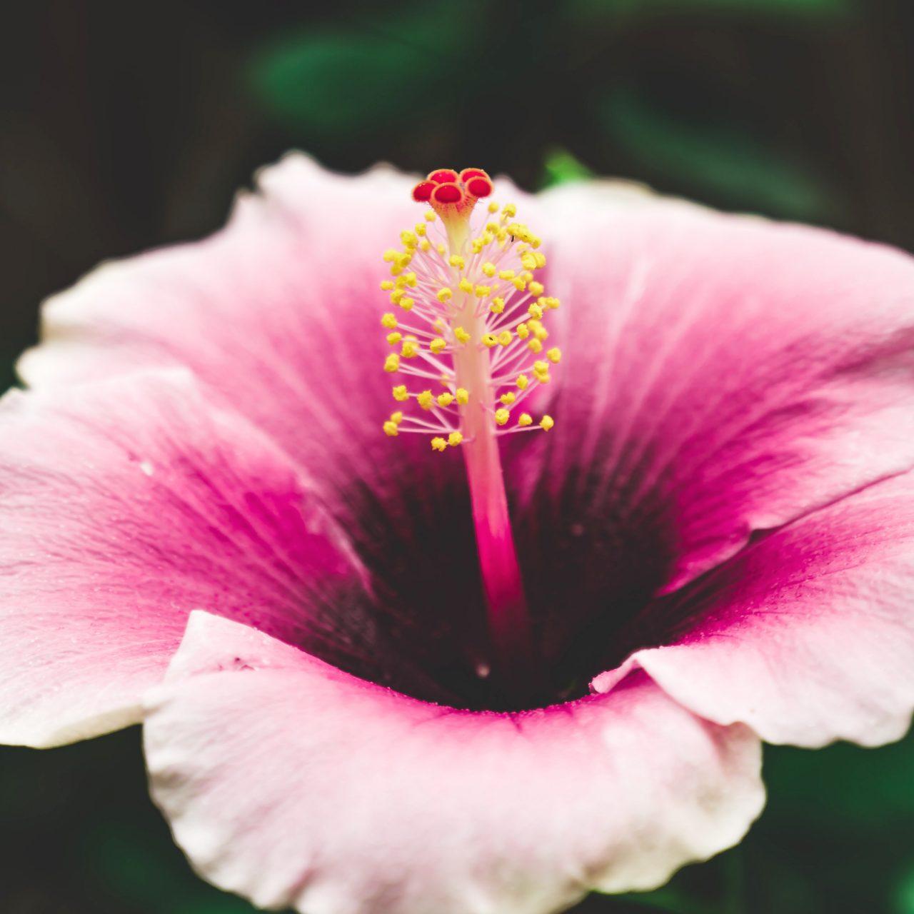 Hibiscus Gingembre